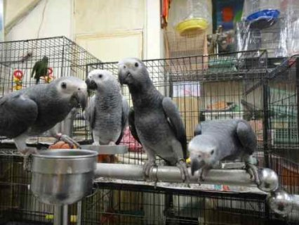 Talking African Grey Parrots with healthy and tame