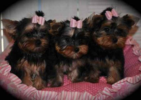 Precious little Yorkies are ready for their foreve