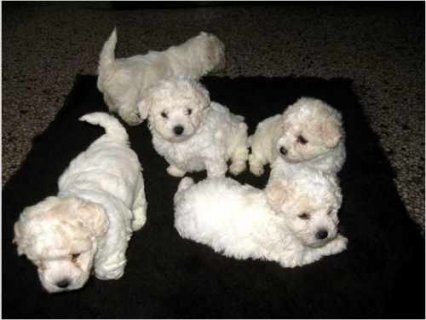 صور Pure breed Bichon Frise puppies for adoption 1