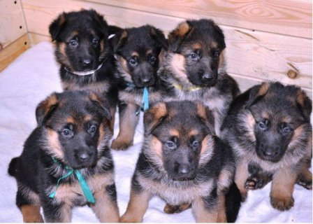 Healthy AKC Registered German shepherd puppies for
