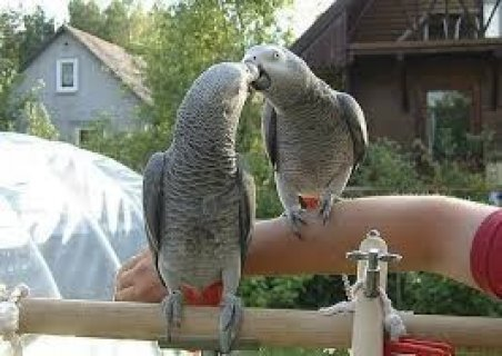 Beautiful Male and Female Congo African Grey Parro