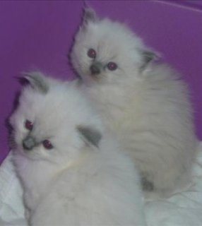 صور Cutest Purebred Ragdoll Kittens 1