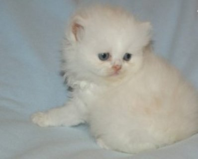 صور Persian Brother and Sister Available11 1