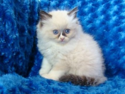 Available Ragdoll Kittens Available