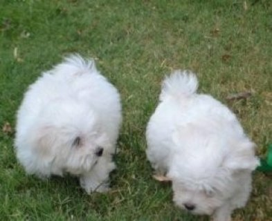 صور Lovely Teacup Maltese Puppies For New Homes 1