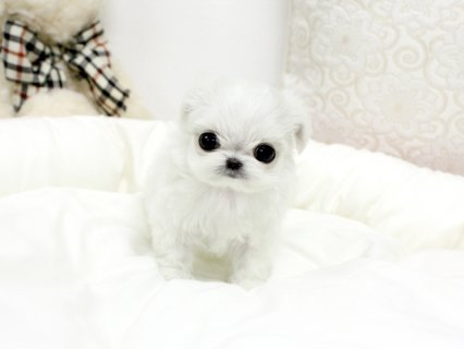 champion  Maltese Puppies males and females availa