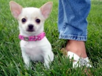 Good Looking Chihuahua Puppies