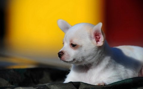 Cute chihuahua have four beautiful puppies