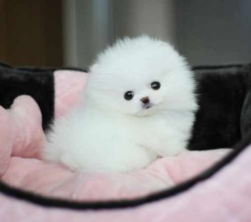 Cut male and female.Tiny Teacup Pomeranian for ado