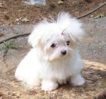 100% Maltese puppies For adoption.