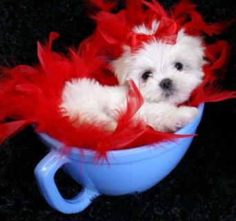 These Maltese Puppies are free for any loving and