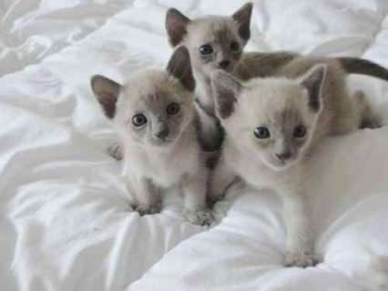 3 Beautiful Pedigree Tonkinese Kittens For Sale