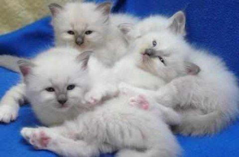 Birman Kittens,5 Gen Pedigree, GCCF Reg for adopti
