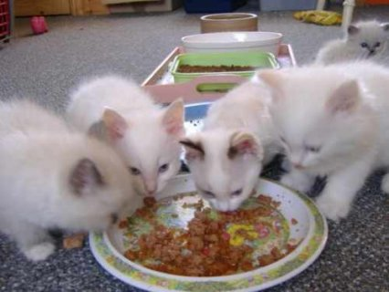 Five Ragdoll kittens