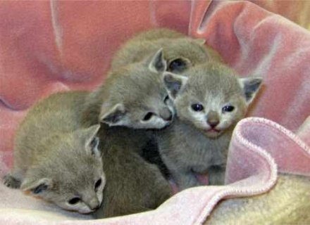 صور Russian Blue Kittens for re homing 1