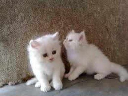 Well trained male and female Teacup Persian Kitten