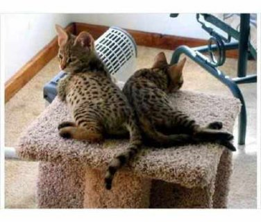 I have caring and affectionate Savannah kittens fo