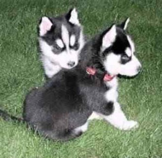 Excellent Blue Eyes Siberian Husky Puppies Ready F