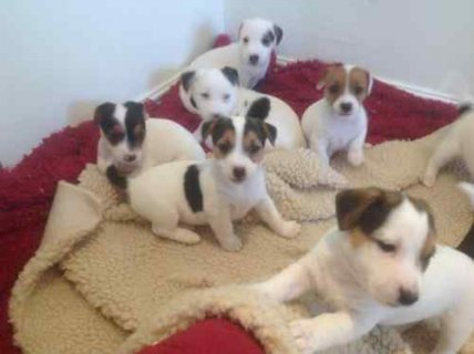 Ready Now Jack Russel Puppies, Male & Female, 0-8