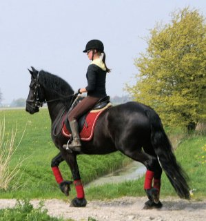 Stallion black male and female Well trained Horse
