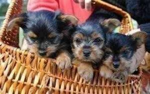 Excelent male and female Teacup Yorkie Puppies For