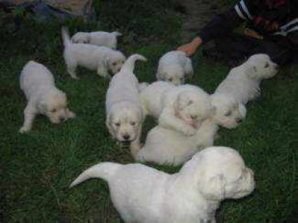 Excellent temperament Golden retriever puppies for