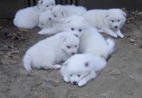 CUTE AND LOVELY AMERICAN ESKIMO PUPPIES FOR ADOPTI