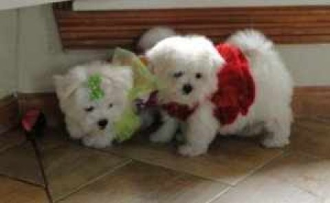 Adorable Teacup Maltese puppies For Adoption