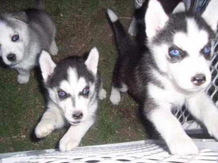 Males and Females Husky puppies available for Adop