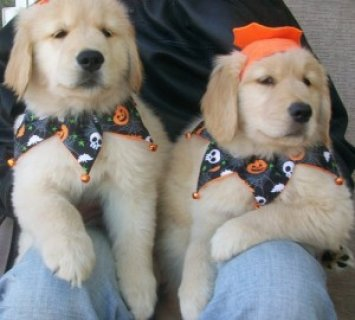 Affectionate Male and Female Golden Retriever Pupp