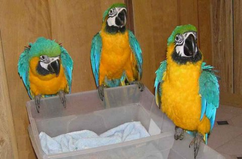 Home raised and very friendly blue and gold macaw