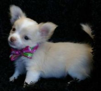 Precious Chihuahua puppies for adoption