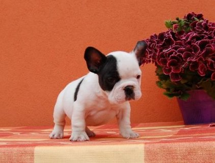 صور Cute French Bulldog Puppies For Sale 1