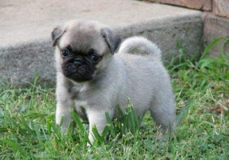 outstanding pug puppies for adoption,