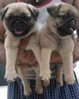 Awesome pug puppies available for adoption