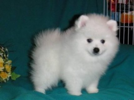 Wow Gorgeous Pomeranian Puppies For Good Homes
