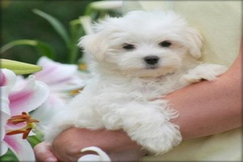 My Two Lovely Maltese Puppies For Adoption