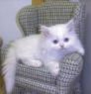 Excellent Persian Kittens Available For Any Good H