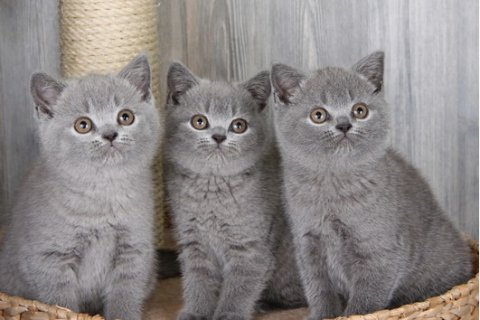 صور British short hauir kittens available for Adoption 1