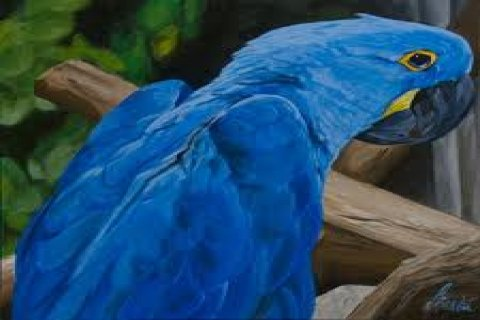 pair of male and female Hyacinth macaw parrots