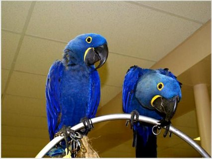 Our Two Baby Hyacinth Macaw baby parrots