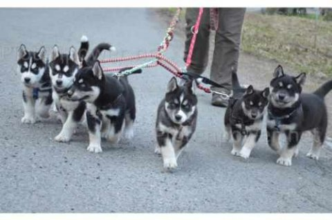 صور Male and Female Siberian Husky Puppies ready for a 1