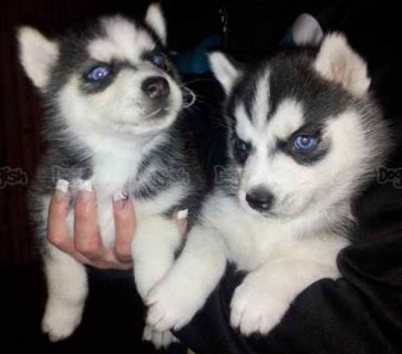 Blue eyes male siberian huksy puppies for adoption
