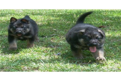 Two German shepherd puppies for adoption12