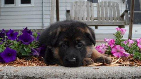 2 German Shepherd puppies for Rehoming3645