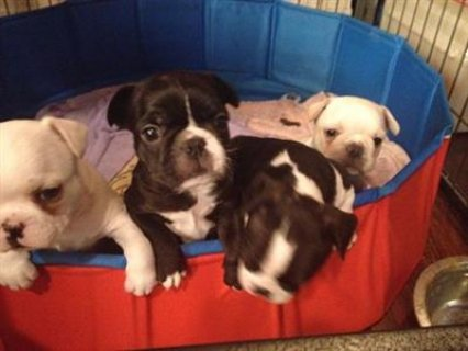 صور French bulldog puppies for sale 1