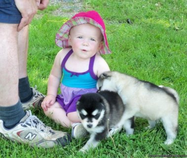 alaskan malamute puppies for sale