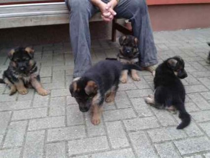 Cute and adorable male and female german shepherd