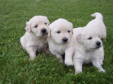 Beautiful Golden Retriever Puppies Available For A
