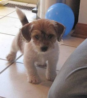 Jack Russel Puppies For Sale1